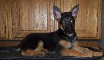 male German Shepherd puppy